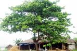 cây bàng