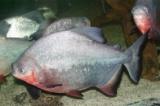 phóng sinh cá chim trắng
