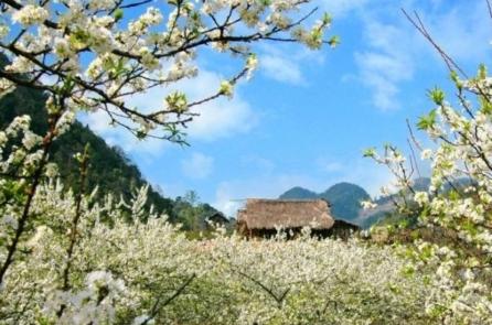 Sơn La: Hoa trắng miền sơn cước