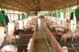 """Thí nghiệm chỉnh sửa gen tạo ra """"siêu lợn"""" của TQ chịu nhiều chỉ trích"""