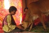 Một phụ nữ Campuchia cưới một chú bê vì tin rằng đó là người chồng đã chết luân hồi