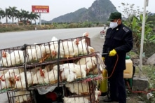 Hải Phòng: Tiêu hủy gần 3.000 con gà nhiễm cúm A/H5N6