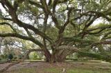 15 cây cổ thụ đặc biệt được xem như báu vật của nước Mỹ (P.2)