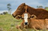 Bò giống cấp cho dân bị lở mồm long móng: Huyện xin rút kinh nghiệm