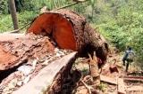 phá rừng lim