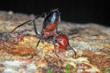 """Tìm thấy loài """"kiến nổ"""" ở đảo Borneo: Hy sinh vì cả đàn"""