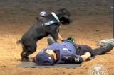 Chú chó cảnh sát cứu người bằng kỹ thuật CPR nổi tiếng trên mạng