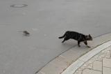 """Chú mèo bắt chuột bị chuột đuổi """"chạy cong đuôi"""""""