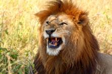 Khu nghỉ dưỡng có 77 con sư tử xung quanh, bạn có dám ở?