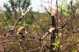 Hàng trăm gốc đào bị phá hoại tại Bắc Ninh: Một chủ vườn tự tử