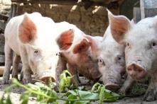 Bộ Tư pháp sẽ xem xét tính hợp pháp của thông tư 'cấm lợn ăn bèo, thân chuối'