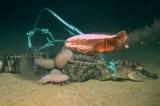 Video: 'Con bọ' khổng lồ ăn xác cá sấu dưới đáy biển vịnh Mexico