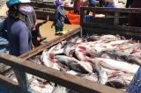 Cá nuôi bè trên sông La Ngà lại chết trắng sau mưa lớn