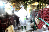 Tuyên Quang, Cần Thơ xuất hiện tả lợn châu Phi