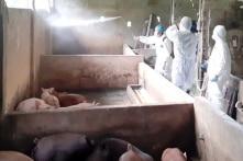 An Giang xuất hiện tả lợn châu Phi