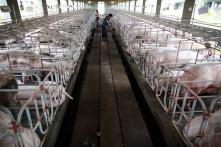 Ứng dụng đủ loại công nghệ mới, dịch tả lợn vẫn lây lan khắp TQ