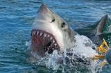 Người cha lao vào đánh cá mập để cứu con gái