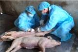 Long An xuất hiện dịch tả lợn châu Phi