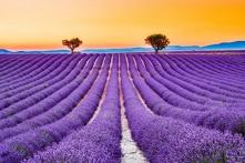 Lạc vào cánh đồng hoa oải hương bất tận ở Valencesol