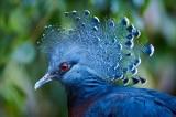 15 loài chim bồ câu có hình dáng kỳ lạ và tuyệt đẹp