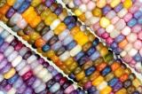 Ngô cầu vồng: Ý nghĩa của việc tích trữ hạt giống và sự chia sẻ