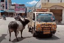 Bò đực đuổi theo xe chở bò cái suốt 1 km và cái kết có hậu